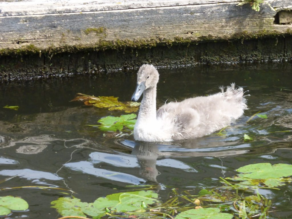 cygnet swimming close to bank with lily pads