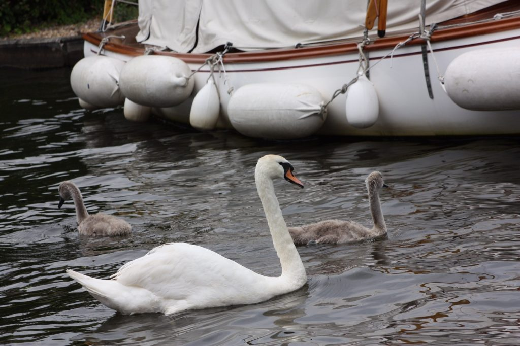 swan swimming next to a boat with 2 cygnets