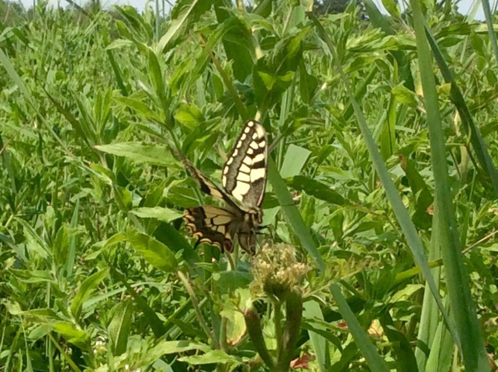 swallowtail butterfly in long grass