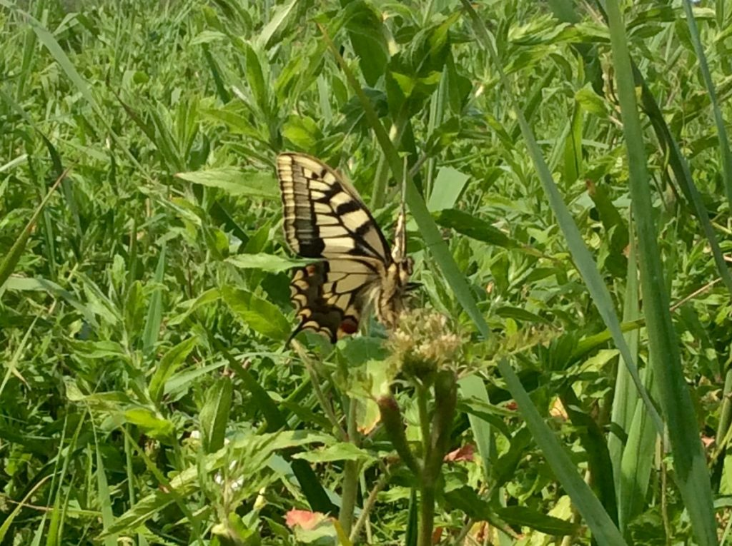 swallowtail butterfly sitting in long grass