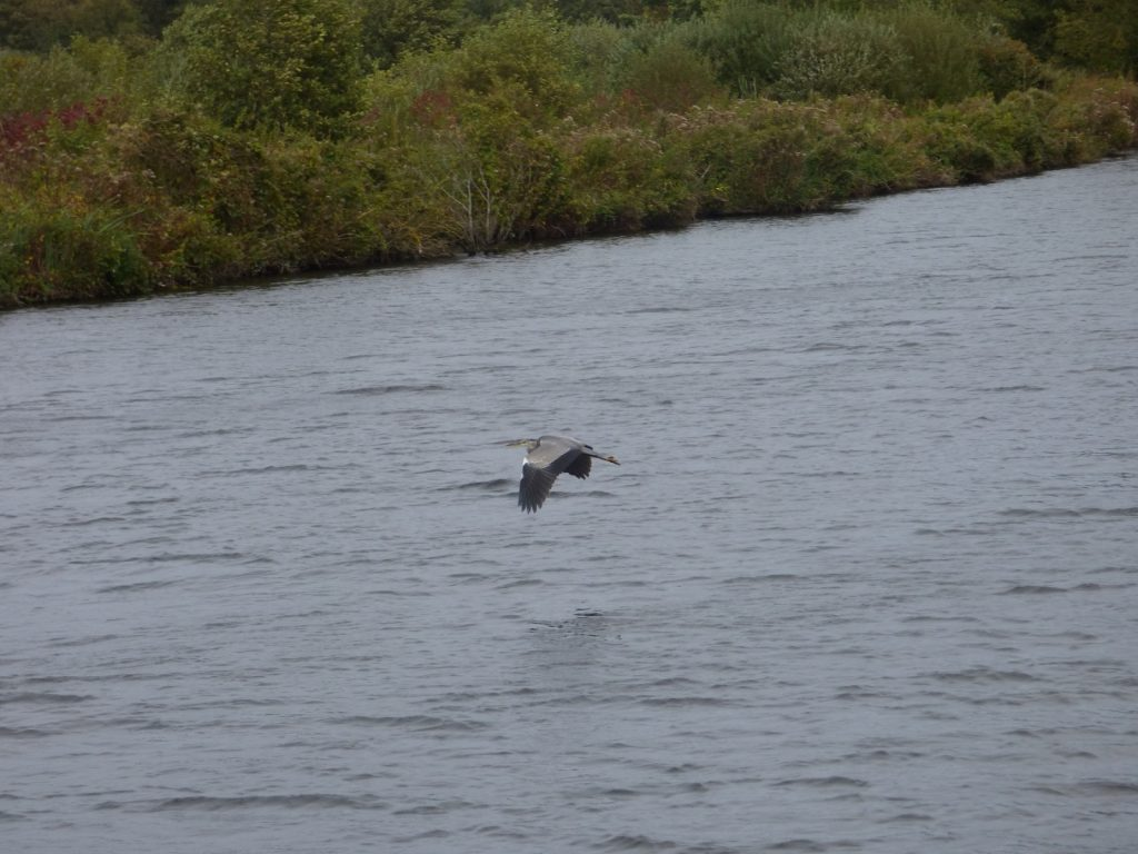 heron flying over norfolk broads