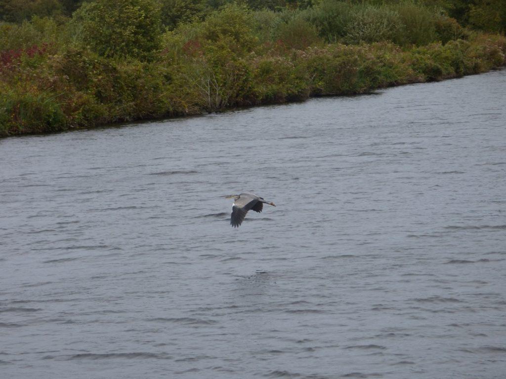 heron flying over norfolk broads