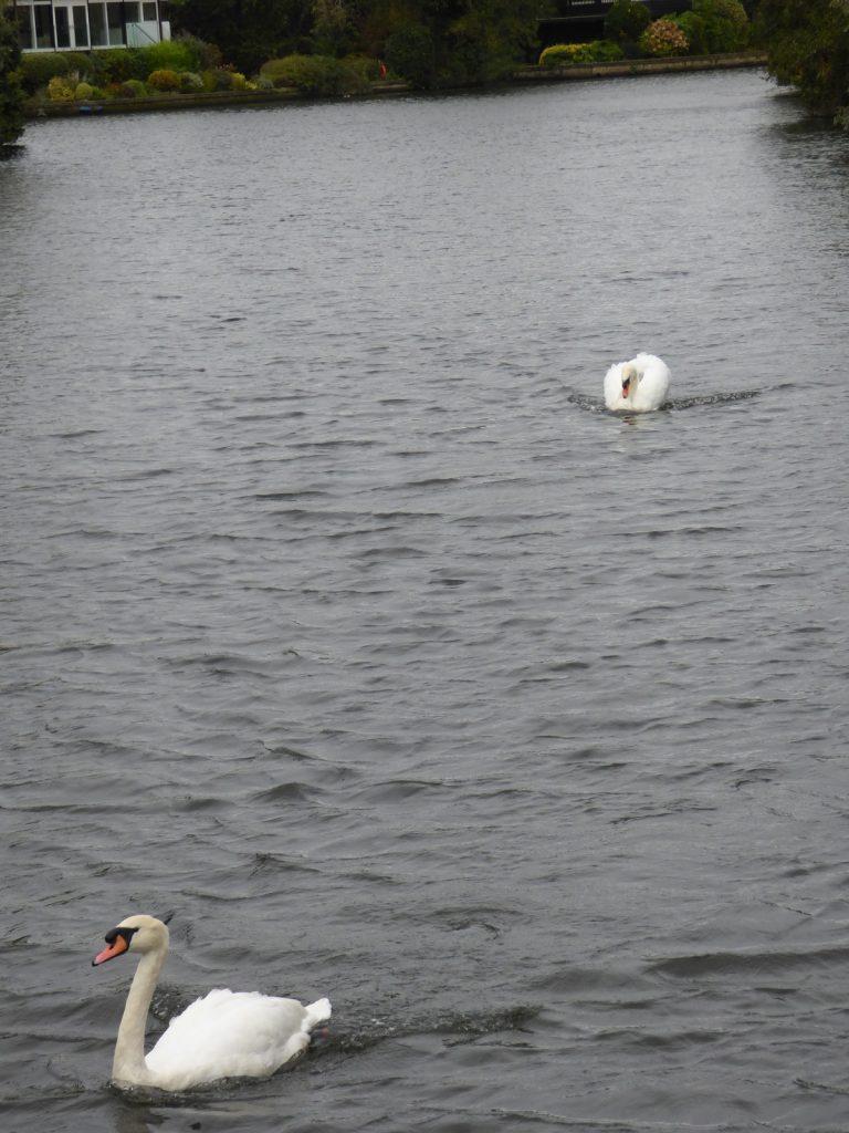 swan chase on norfolk broads