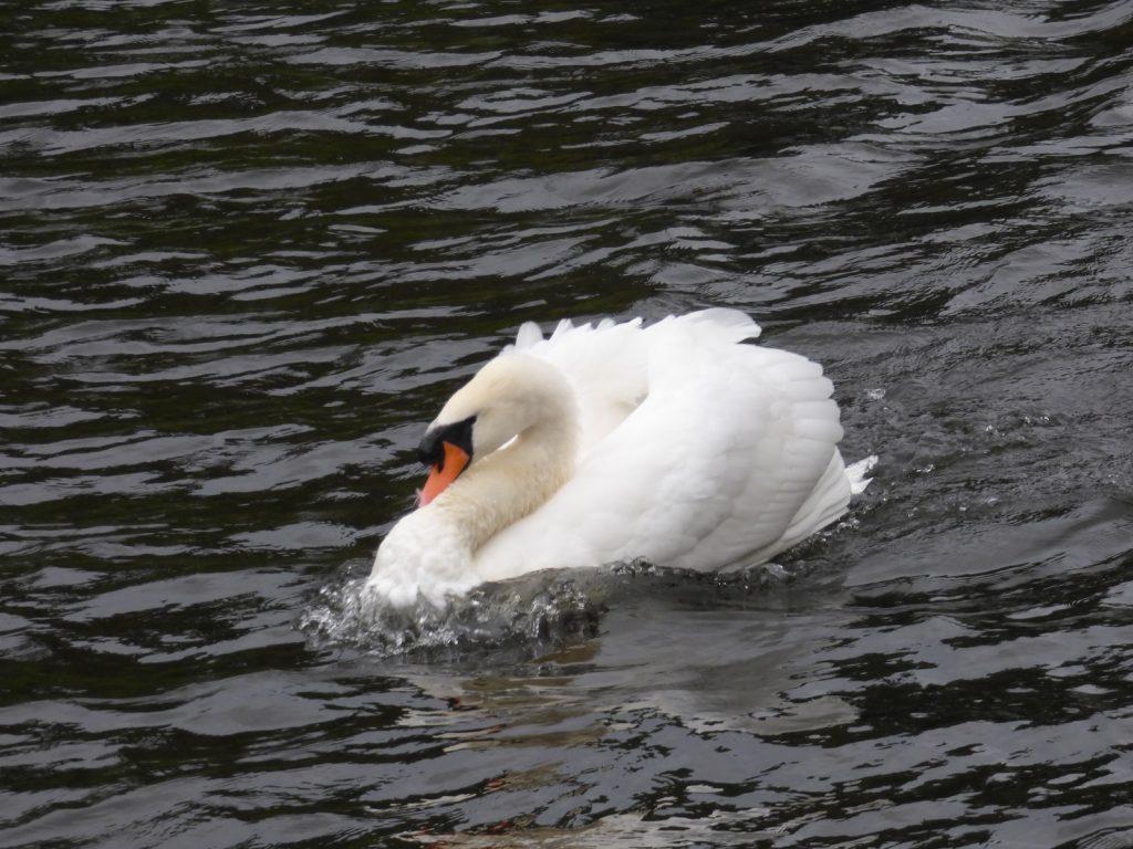 swan territorial over norfolk broads