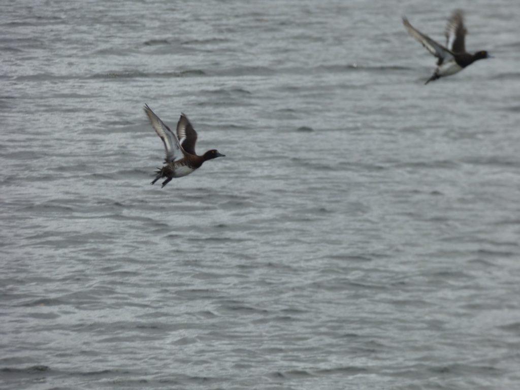 flying tufted ducks on broads